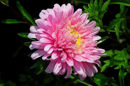 Flower, Aster, Pink, Garden, Summer, Nature, The Petals