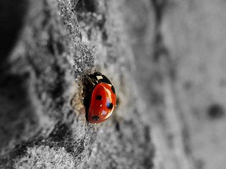 Ladybug, Beetle, Insect, Nature, Ladybird, Red, Bug