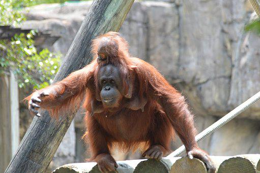 Orangutan, Baby, Zoo