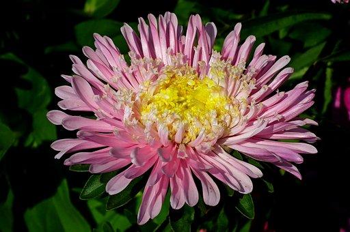 Flower, Aster, Garden, Nature, Summer, Pink, The Petals