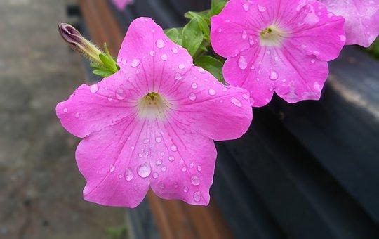 Sharpie, Safi, Surfinia, Pink Flower, Tue-sa