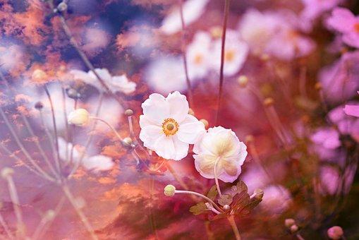 Anemone, Flower, Plant, White, Nature, Double Exposure