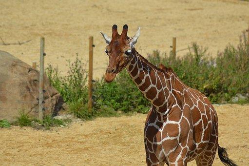 Giraffe, Zoo, Animal