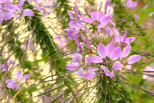 Spider Flower, Spider Plant, Spider, Blossom, Bloom