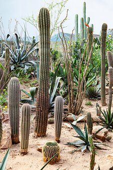 Cactae, Cacti, Juicy, Prickly, Botany, Botanical, Green