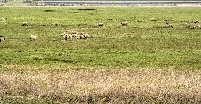 Coast, Sheep, Floodplain, Grass, River Estuary