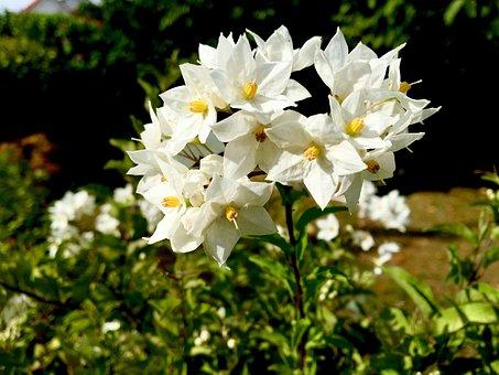 Flower, Jasmin, Flowers, Garden, Summer, Nature, Tender