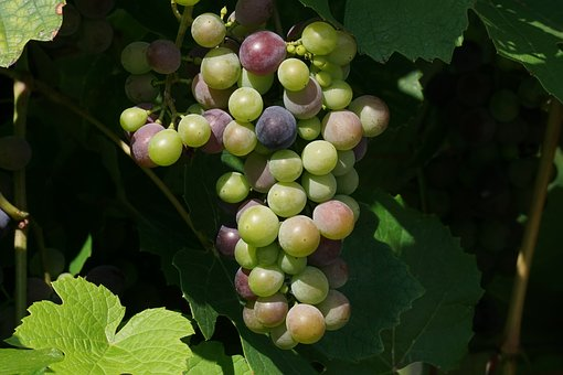Grapes, Fruits, Grapevine, Vines Stock, Rebstock, Vines