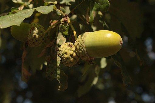 Acorns, Oak, Summer, Green