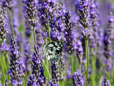 Butterfly, White, Lavender, Drôme, France, Colorful