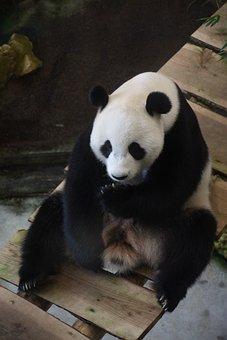 Giant Panda, Ouwehands Dierenpark, Mammal, Bears