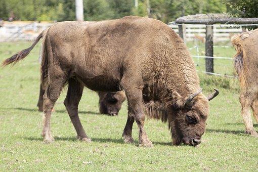 Bison, Wildlife, Park, Zoo, Animal, Nature, Outdoors