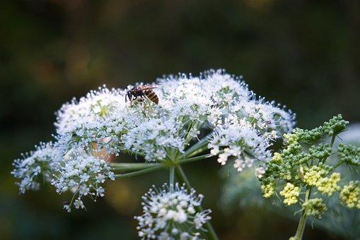 Wasp, Yarrow, Nature