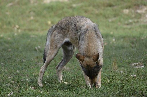 Wolf, Pack, Predator, Nature, Wild Animal