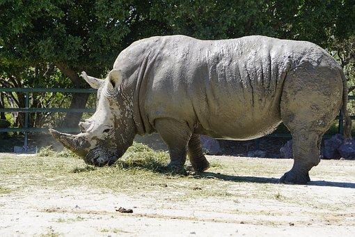 Rhinos, Placental Mammals, Black Rhino, Africa, Rhino