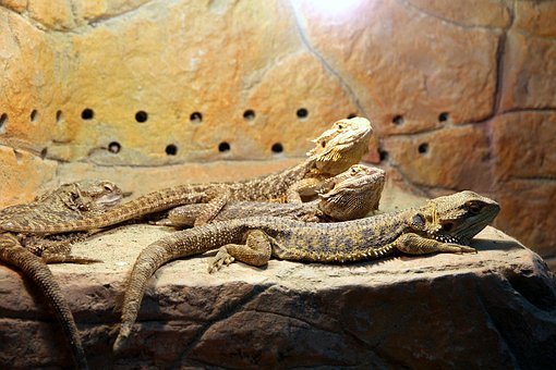Bearded Agam, Lizards, Pogona Vitticeps, Reptiles
