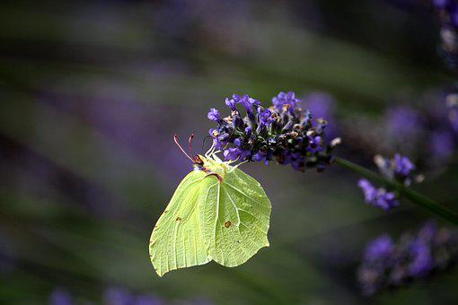 Lavender, Gonepteryx Rhamni, Butterfly, Insect, Violet