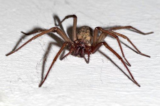 Spider, Tegenaria Domestica, Terrible, Arachnophobia