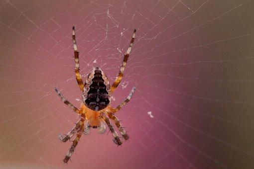 Garden Spider, Araneus Diadematus, Spider, Cobweb