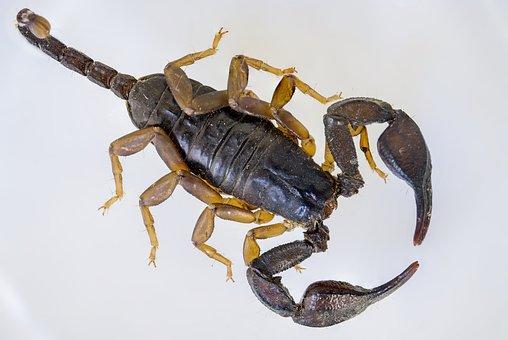 Scorpio, Black Scorpion, E Flavicaudis, Arthropod