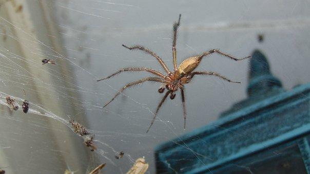 Insect, Spider, Arachnid, Predator, Arachnophobia, Bug