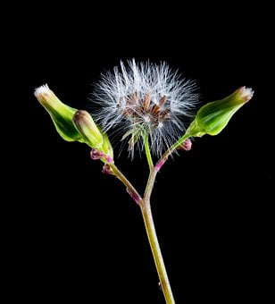 Dandelion, Small Flower, Wild Flower, Blossom, Bloom