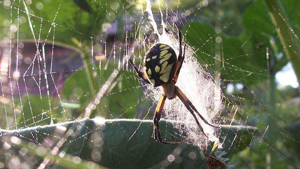 Spider, Dew, Web, Arachnid, Wet, Spiderweb, Green Web