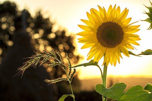 Sunflower, Sun, Summer, Yellow, Nature, Flower, Field