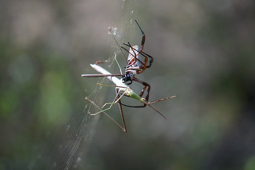 Spider, Golden Orb Weaver, Nature, Arachnid, Nephila