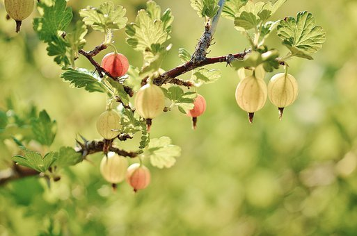 Gooseberry, Fruits, Red, Spring, Naked Stalks Poppy