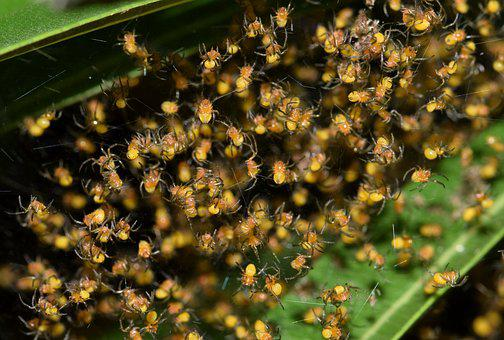 Spiders, Spiderlings, Nest, Hatch, Hatchlings