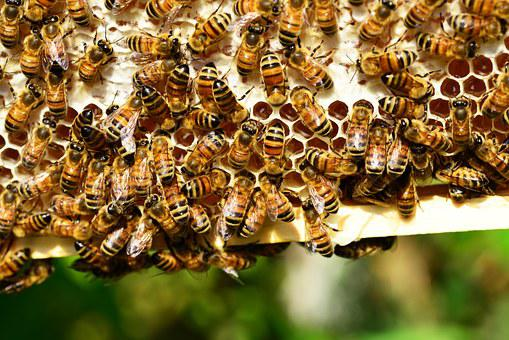 Honey Bees, Bees, Hive, Bee Hive, Insects, Yellow
