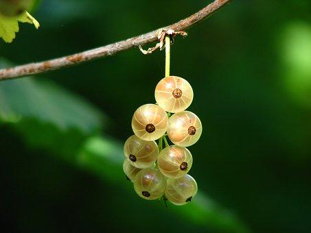 Currants, Berries, Immature, Bush, Light, Sun, Shadow