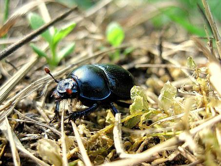 Beetle, Beasts, Field, Insect, Wildlife, Bug, Small