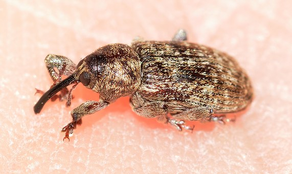 Weevil, Beetles, Insects