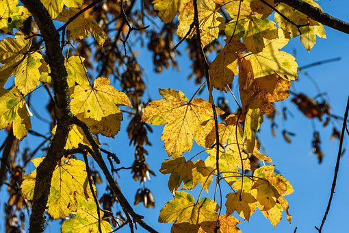 Deciduous Tree, Autumn, November, Leaves, True Leaves