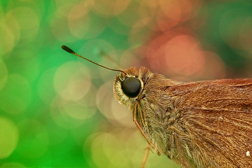 Skipper, Close Up, Macro, Butterfly, Insect, Nature