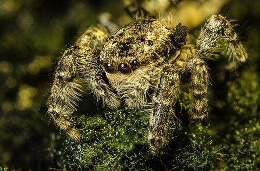 Arachnid, Spider, Jumping, Nature, Macro, Hunting