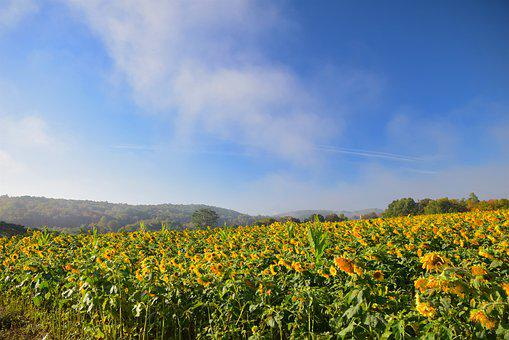 Sunflowers, Field, Mist, Yellow, Nature, Rural