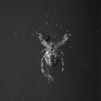 Spider, Orbweaver, Crossed, Web, Nature, Arachnid
