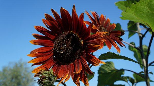Flower, Nature, Garden, Ornamental Sunflower, Plant