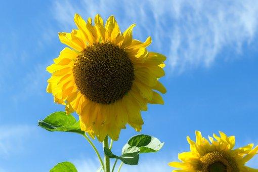 Sunflower, Summer, Sky, Plant, Closeup, Bright, Flower