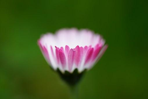 Daisy, Flower, Blossom, Bloom, Bellis Philosophy, Red