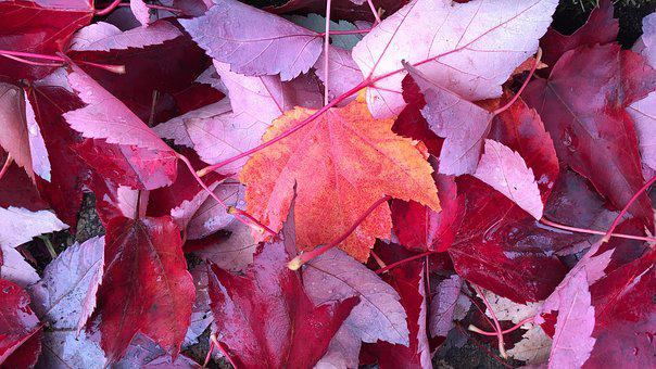 Thanksgiving, Leaves, Fall, Autumn, Red, Holiday