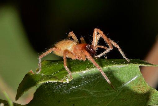 Spider, Sac Spider, Yellow Sac Spider