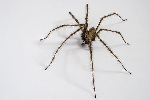 Domestic Tégénaire, Spider, Spider Houses, Arachnid