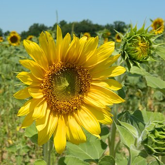 Sunflower, Summer, Flower, Field, Yellow, Agriculture