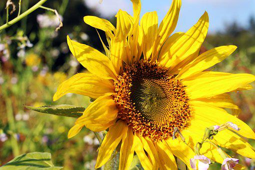 Sunflower, Sunflower Field, Yellow, Summer, Flowers