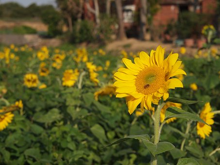 Sunflower, Yellow, Sunny Farm, Honey Bees