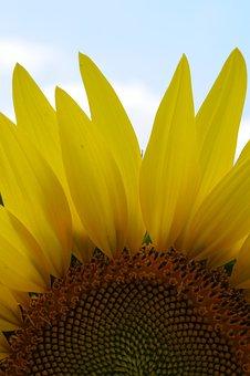 Sunflower, Sunlight, Nature, Sunny, Sun, Summer, Field